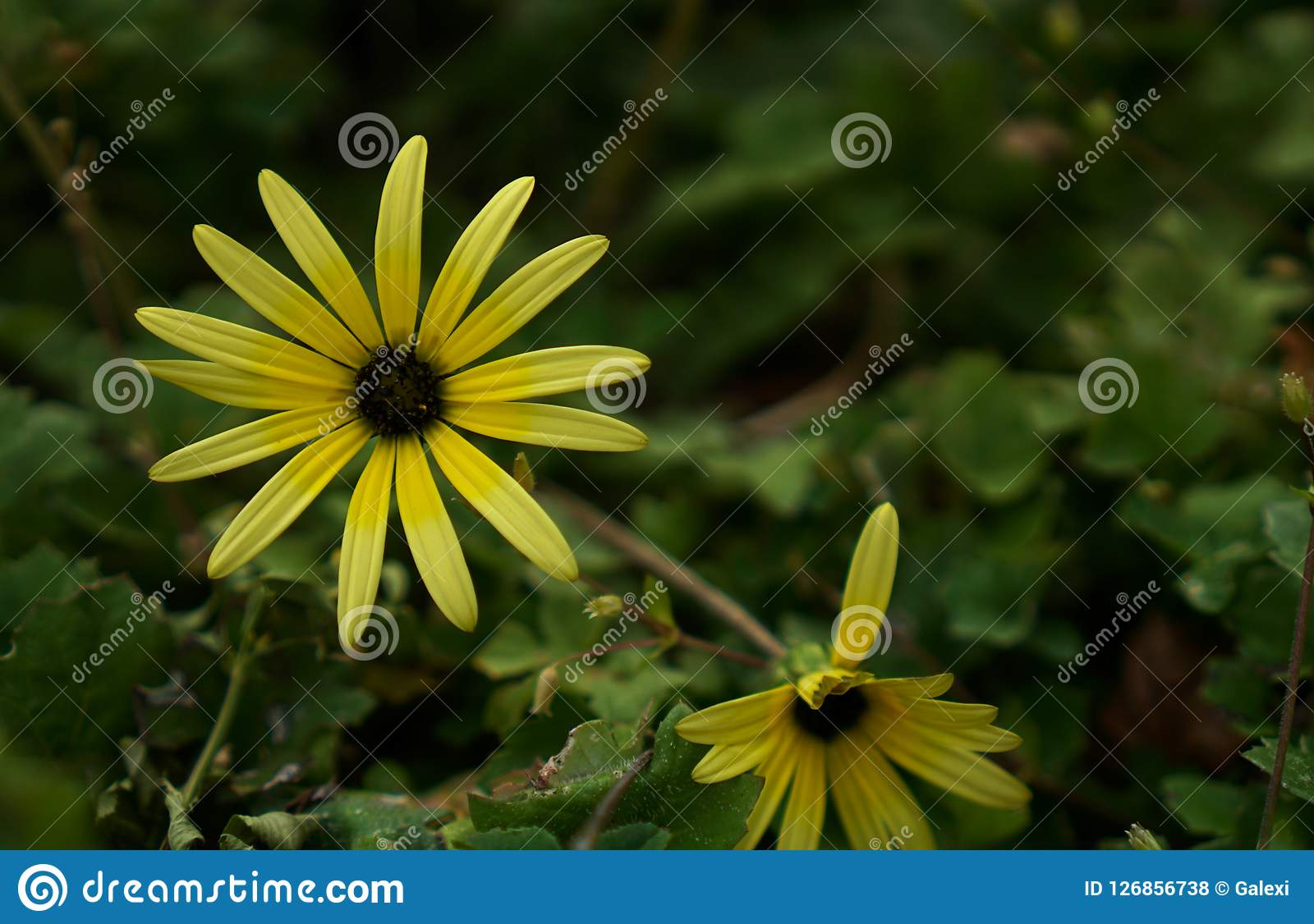 Wild Yellow Daisy Flower Stock Photo Image Of Object 126856738