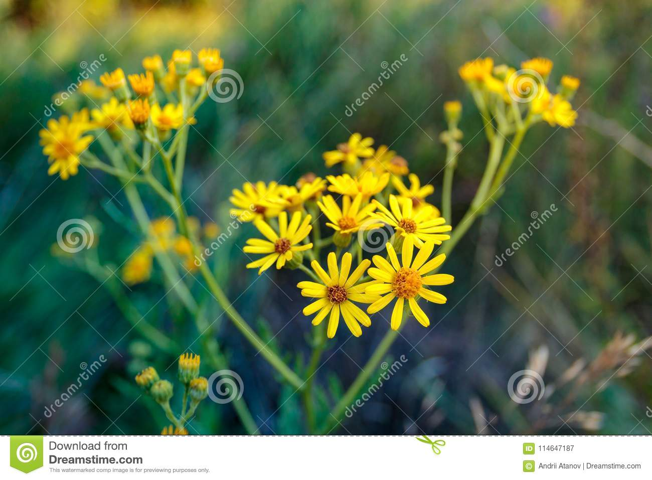 Wild Yellow Flower On A Cloudy Morning Stock Image Image Of Nature
