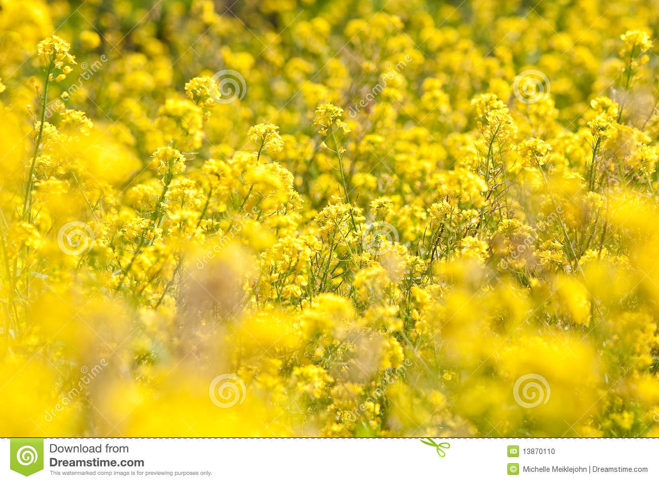 Wild Yellow Flowers Stock Photo Image Of Fresh Petal 13870110