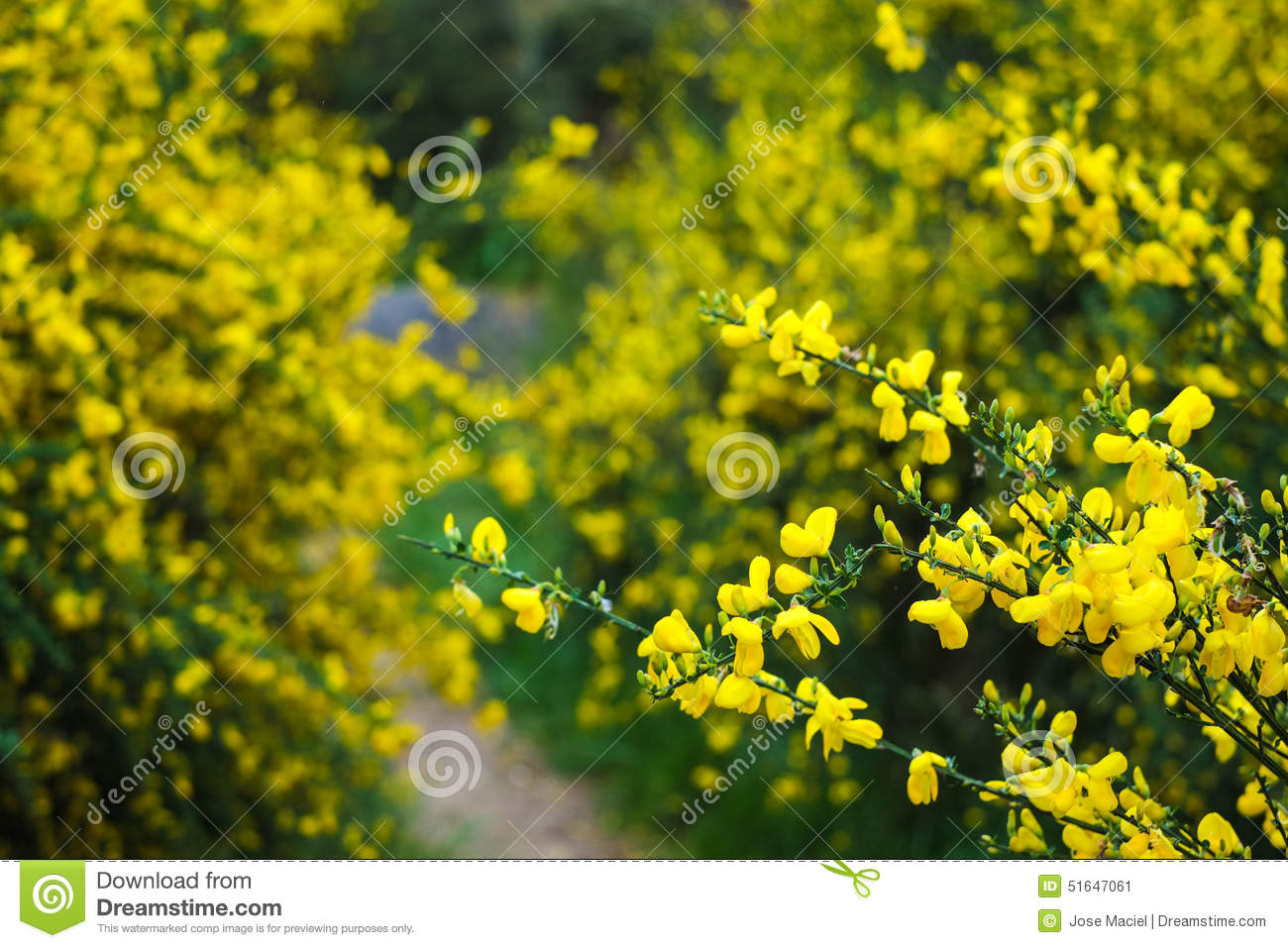 Wild Yellow Flowers Among The Green Stock Image Image Of