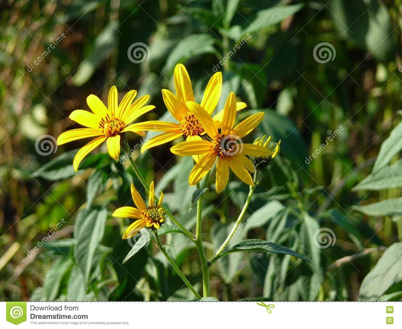 Wild Yellow Flowers In The Sun Stock Image Image Of Spider