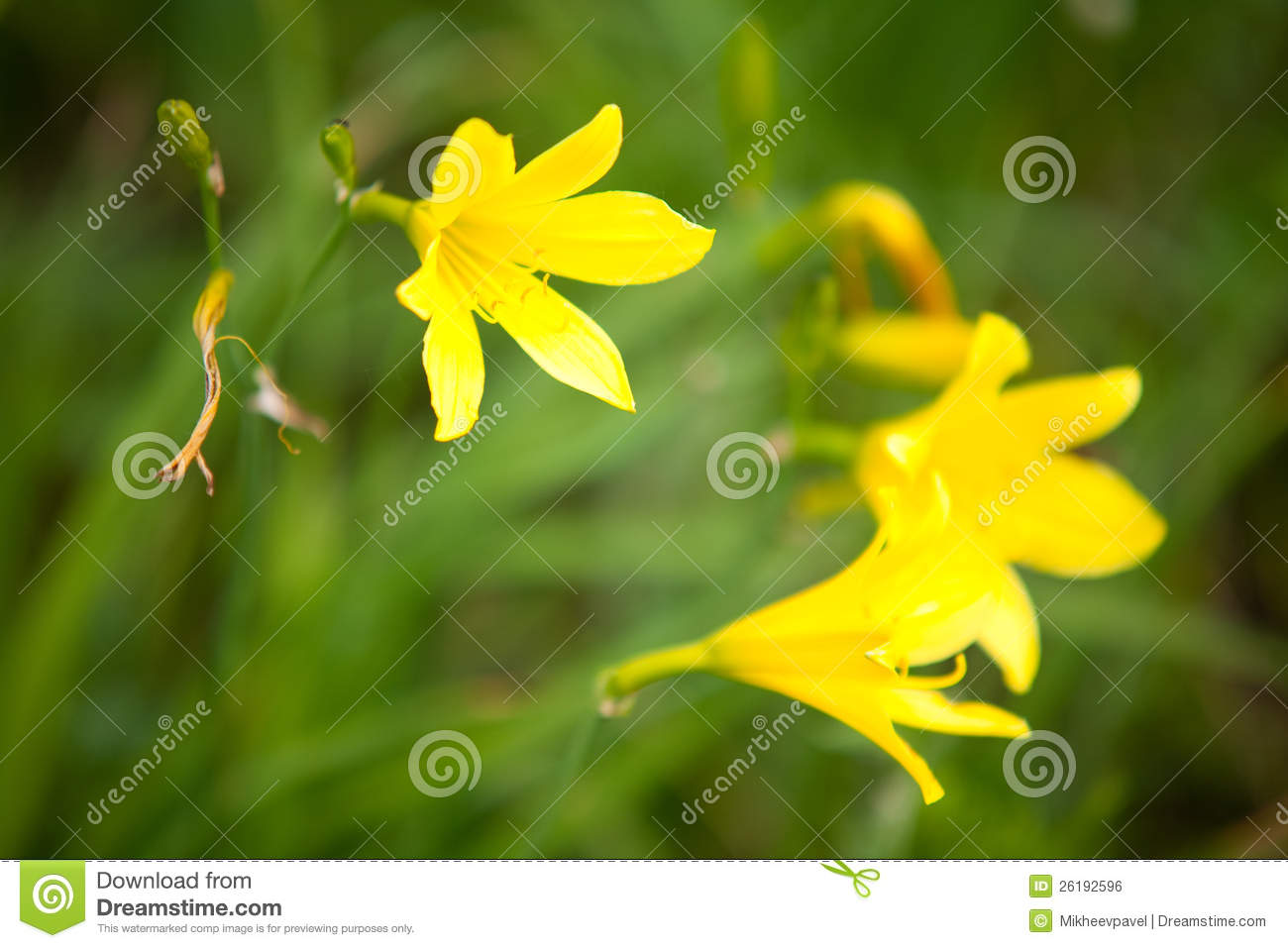 Wild yellow lily