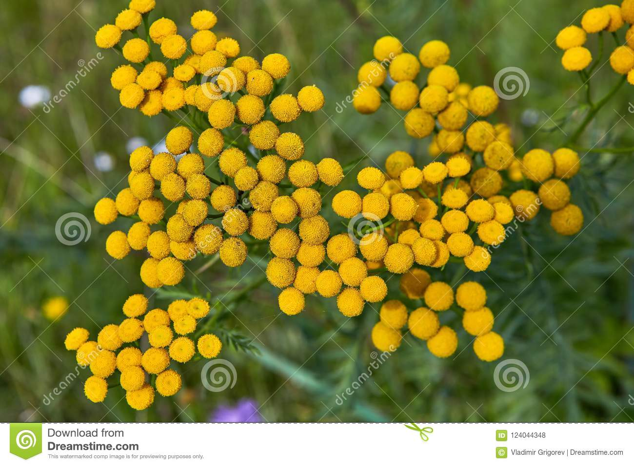Wild Yellow Flowers In Countryside Stock Photo Image Of Summer