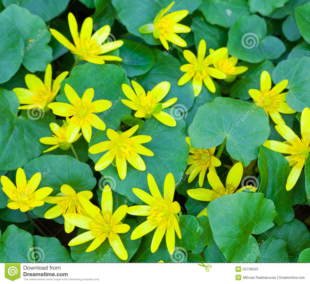 Wild Yellow Spring Flowers Stock Image Image Of Bloom 52739523