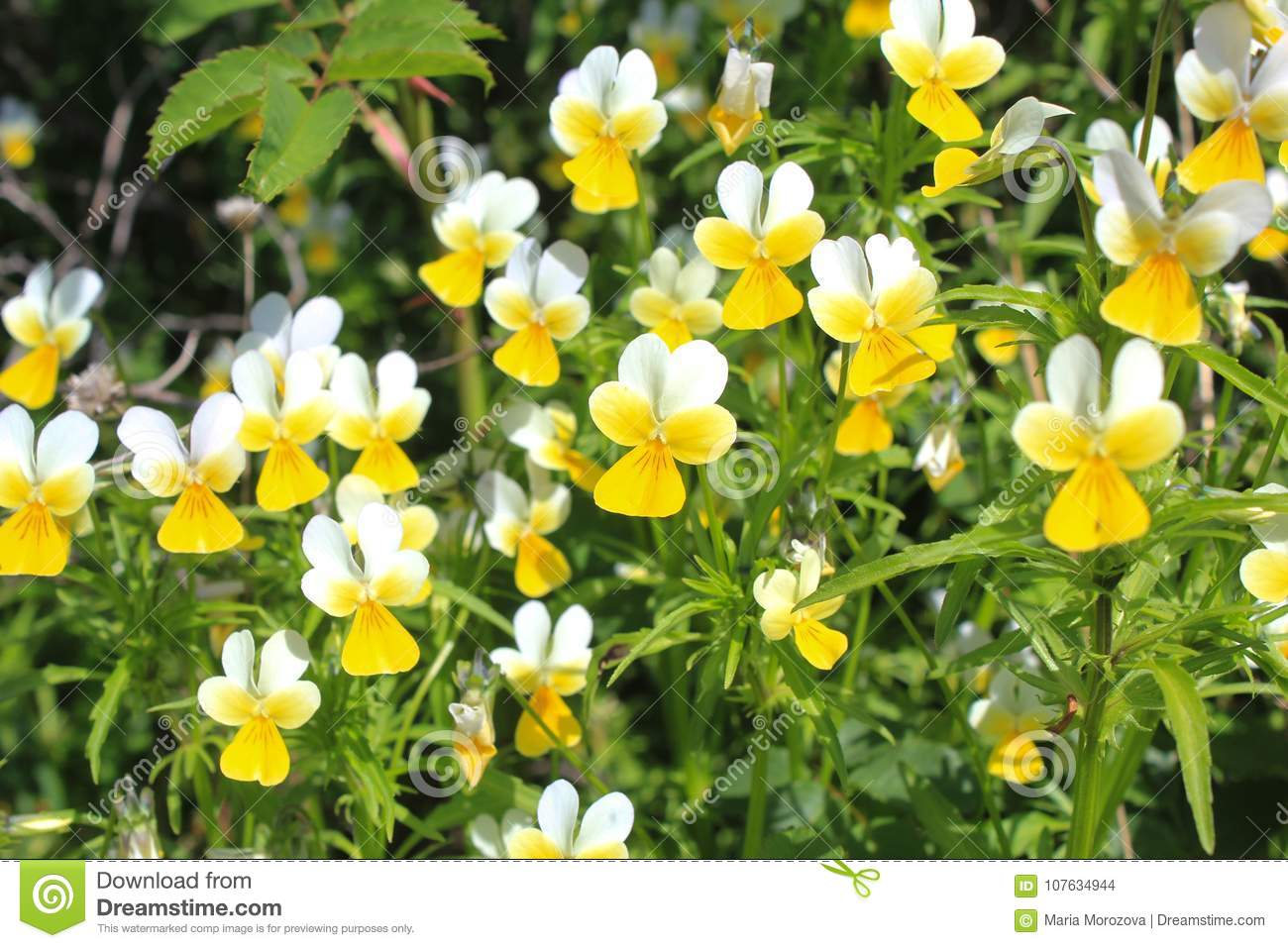 Wild Yellow White Flowers Violets Stock Photo Image Of White