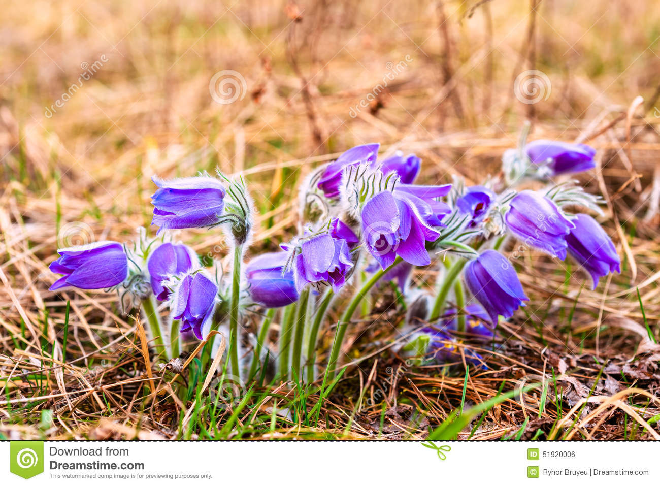 Wild Young Pasqueflower In Early Spring Flowers Stock Photo Image
