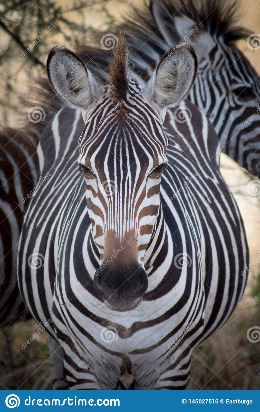 A zebra looks directly into the camera lens in Tanzania