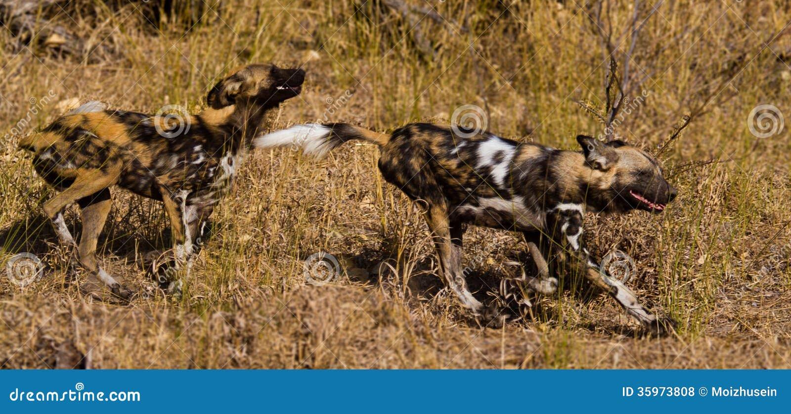 Wilddog en el parque nacional de Tanzania
