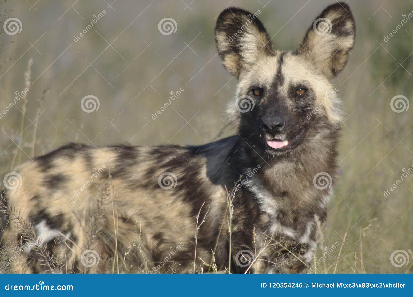 Wilddog-reserva na pastagem Safari Lodge no Kalahar central