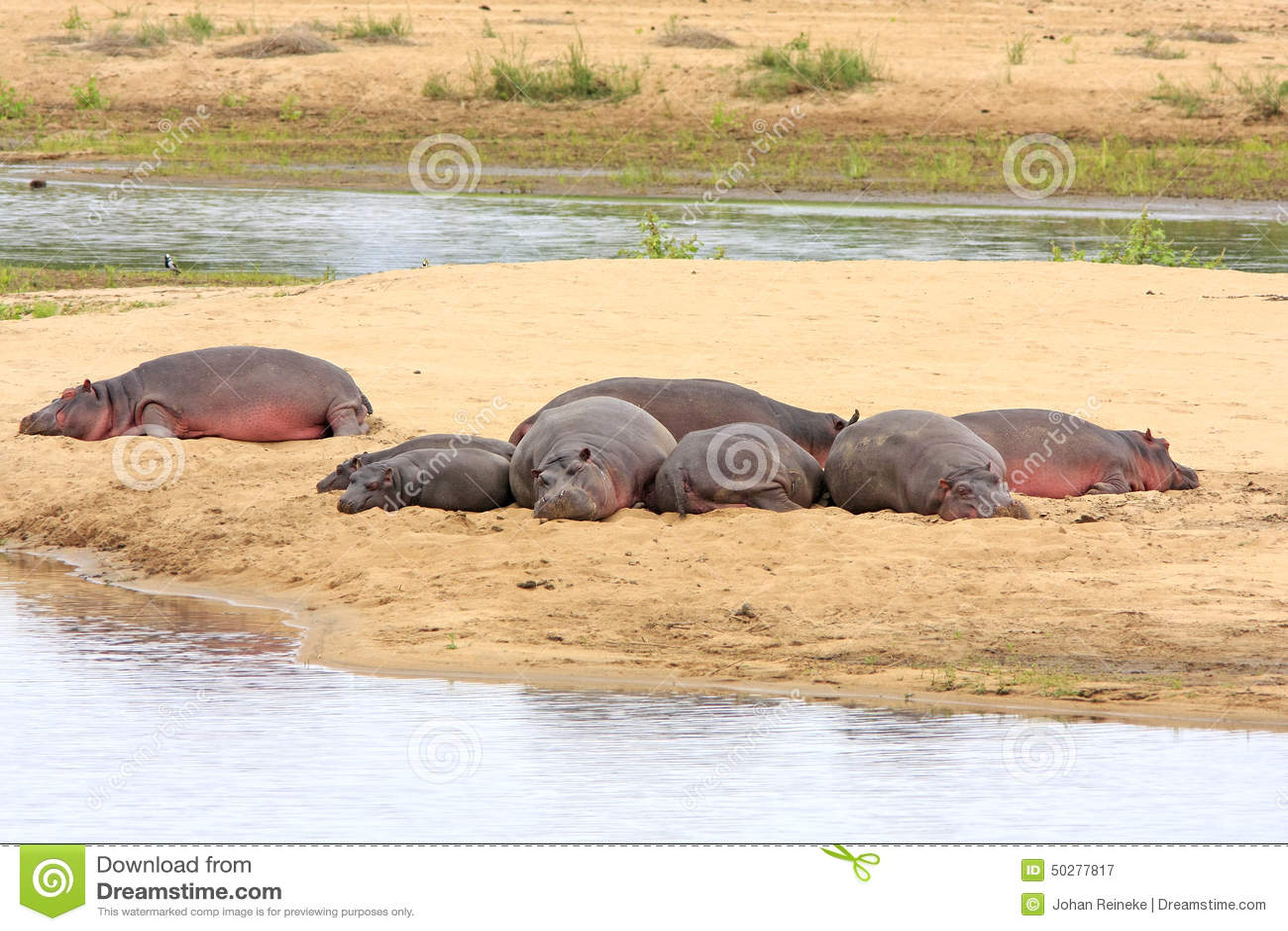 Wilde Afrikaanse hippos