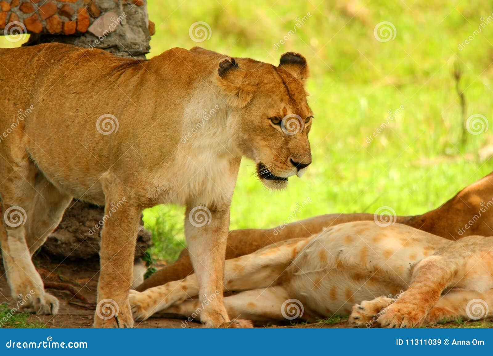 Wilde afrikanische Löwin