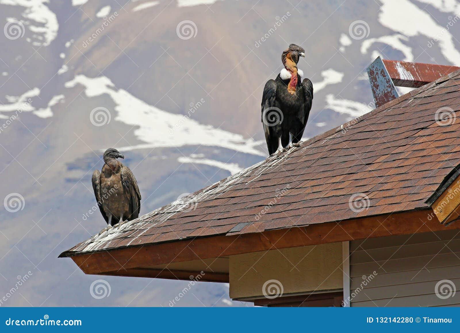 Wilde Andesdiecondors op een dak, de Chileense Andes worden neergestreken