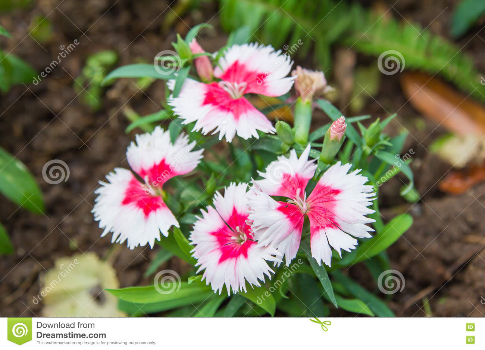Wilde anjer rode en witte bloemen stock foto   afbeelding: 70886679