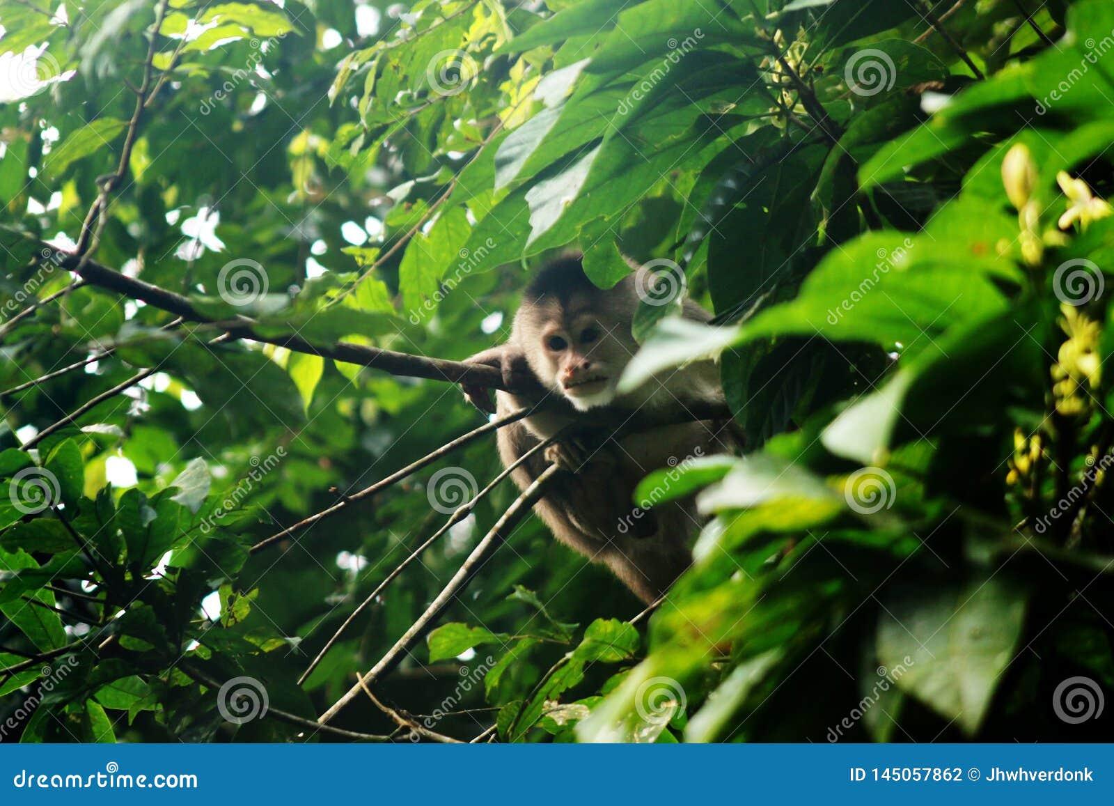 Wilde apuchinaap, cebus die albifrons, tussen de bladeren verbergen en ons controleren