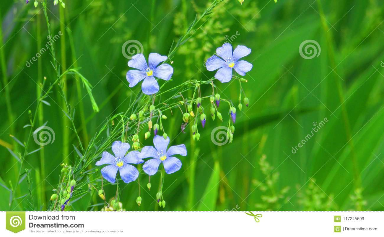 Wilde bloemen, vlas