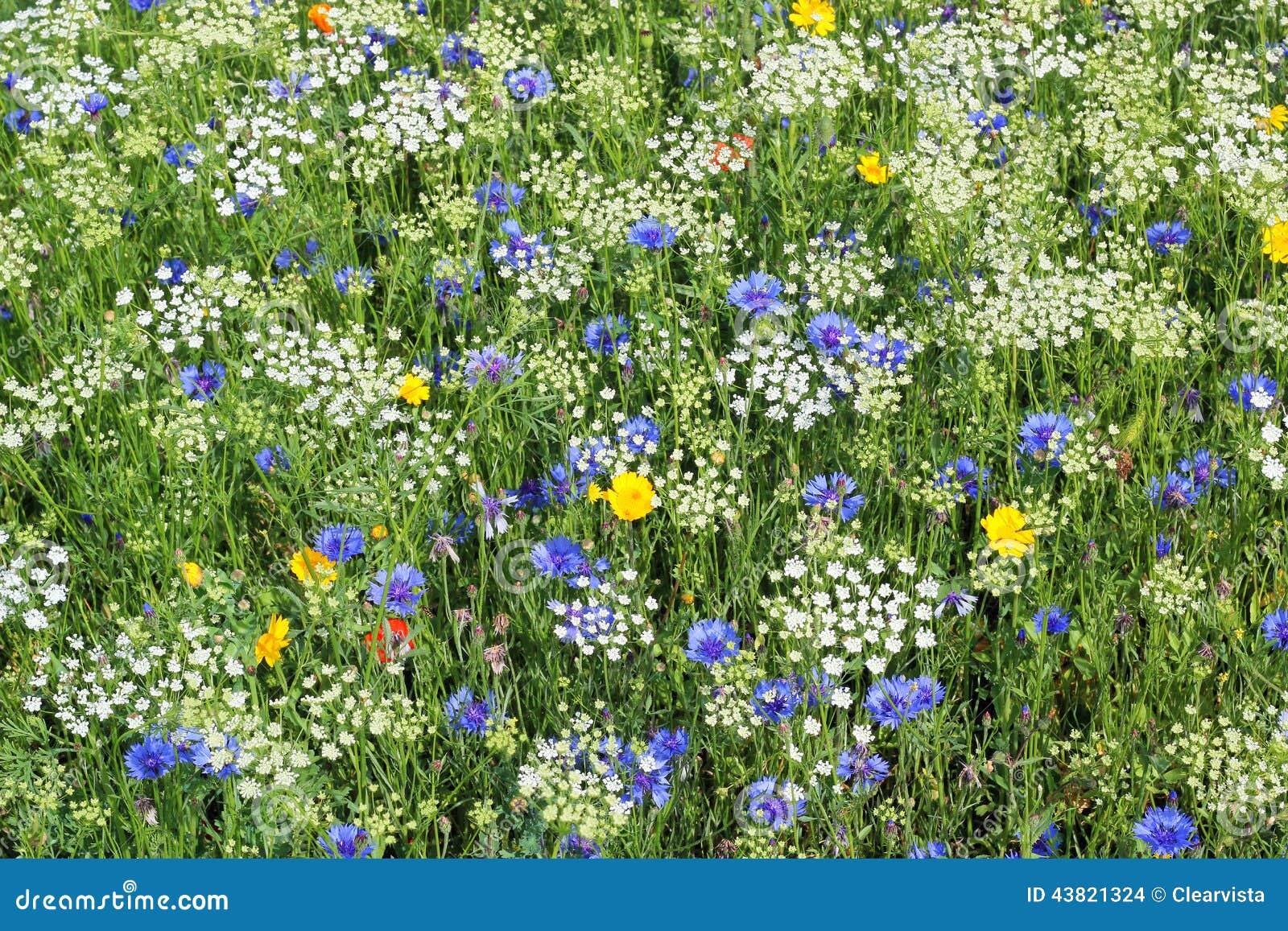 Wilde Blumen Weiß, Blau und Gelb