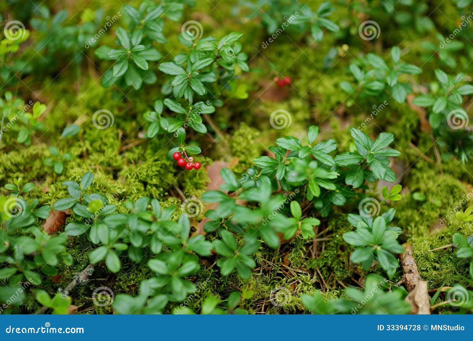 Wilde bosbessen op een struik royalty vrije stock foto 39 s afbeelding 33394728 - Bush architectuur ...