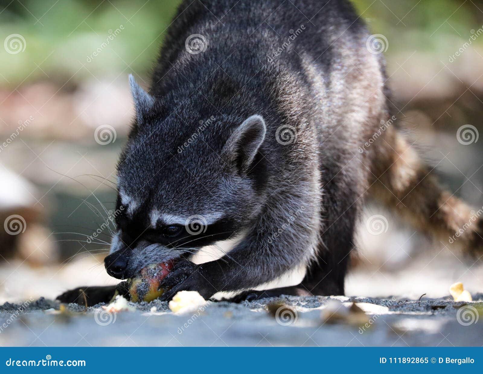 Wilde boze wasbeer in de wildernis van Costa Rica die op voedsel wachten