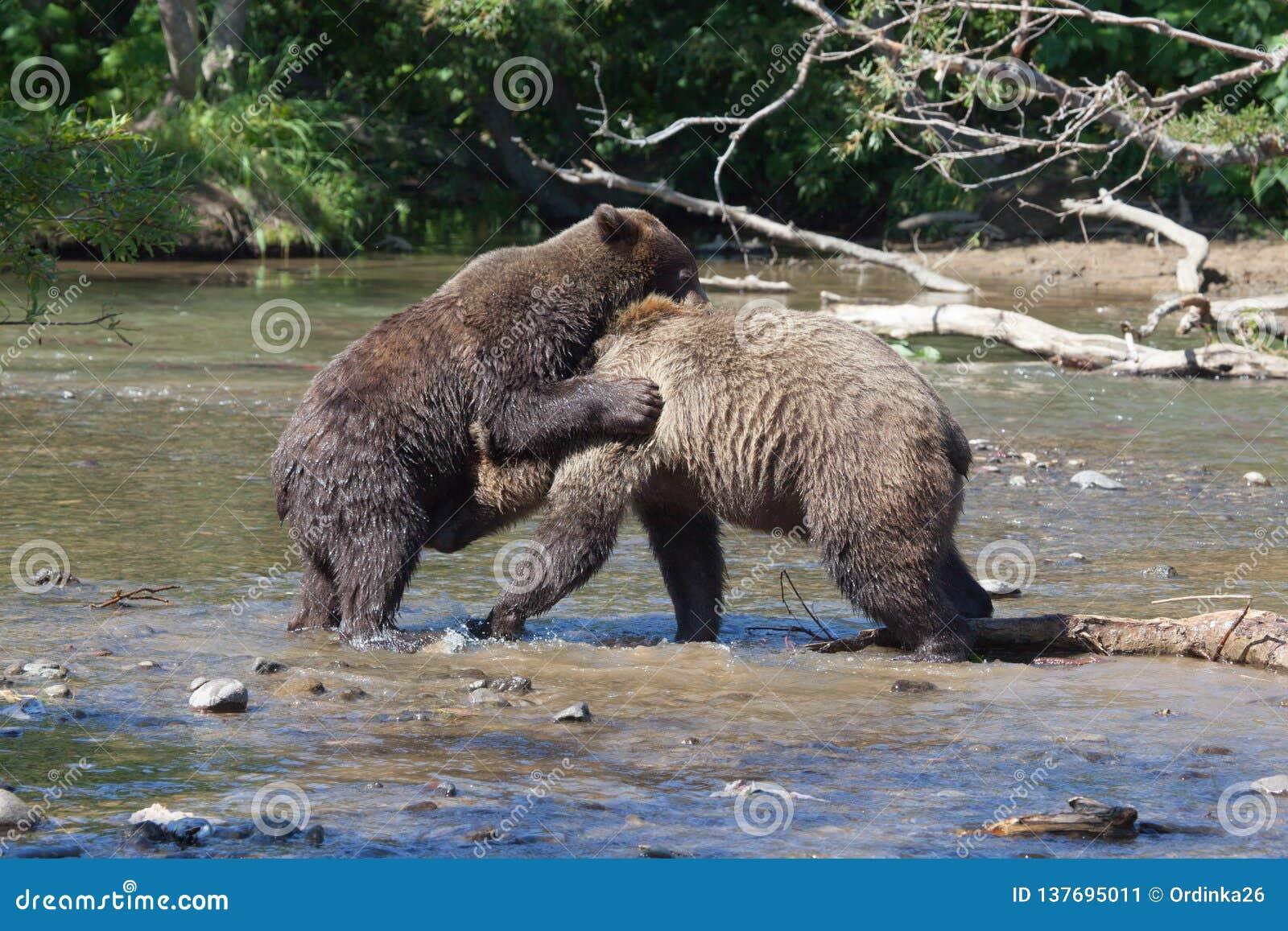 Wilde Braunbärgraubärjungsjugendliche kämpfen im See im Sommer Zwei Bären knurren an einander im See Kronotsky national