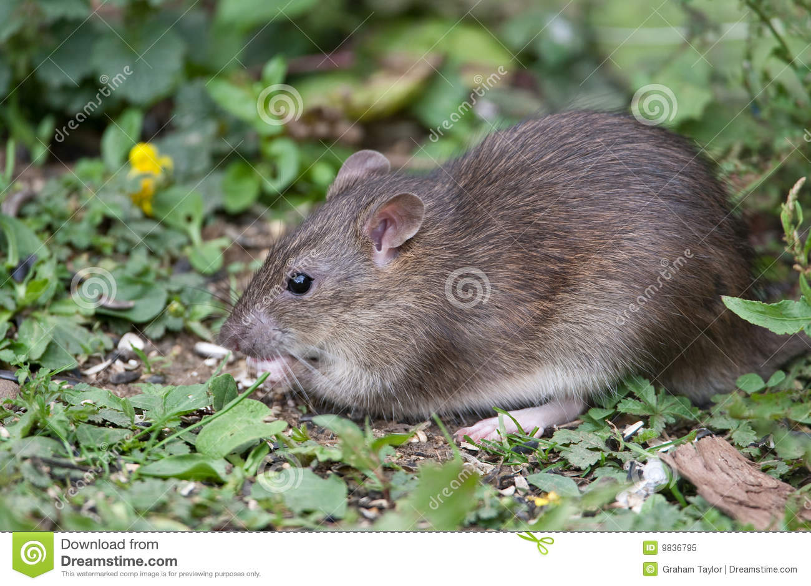 Wilde bruine rat stock afbeelding afbeelding bestaande uit vrees 9836795 - Graham en bruine behang ...
