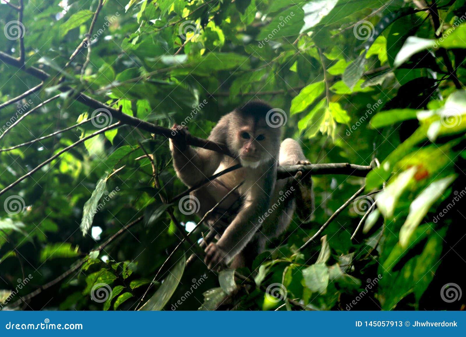 Wilde capuchin aap, cebus die albifrons, tussen bladeren in de wildernis of tropisch regenwoud ontspannen