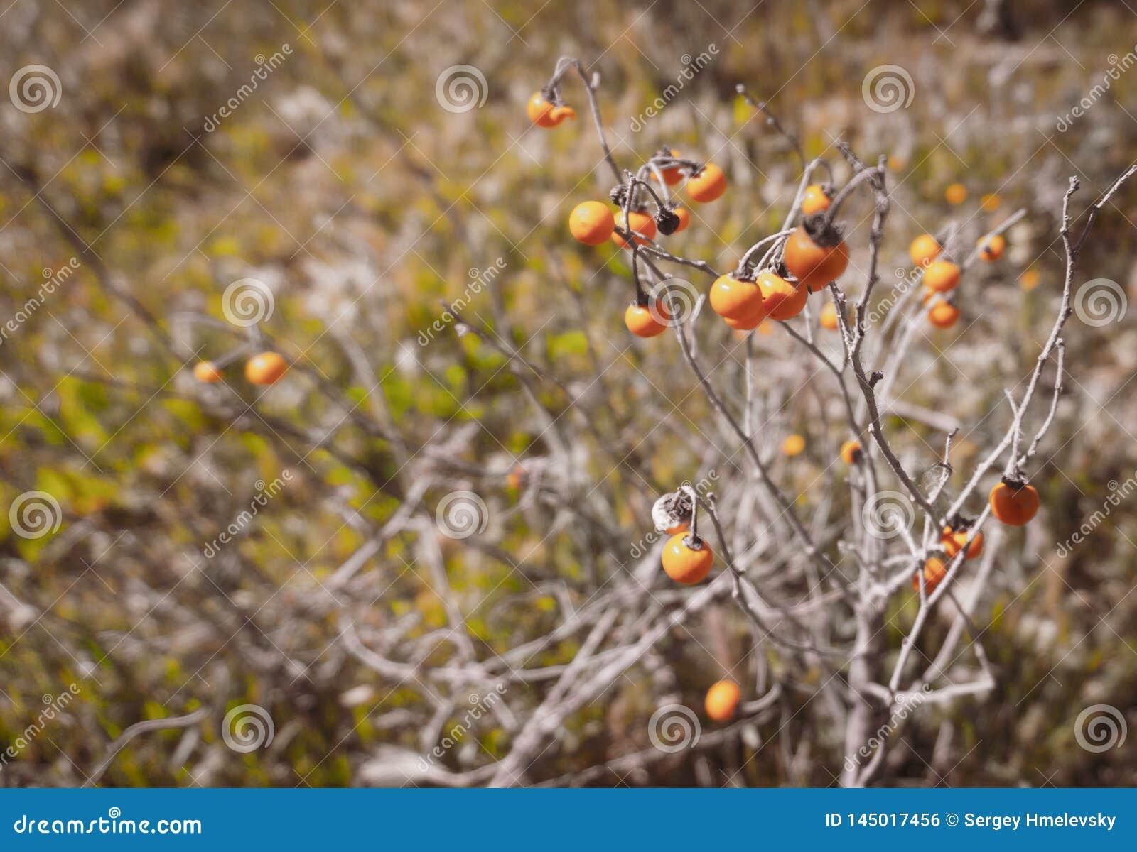 Wilde Carolina-horsenettle Beeren