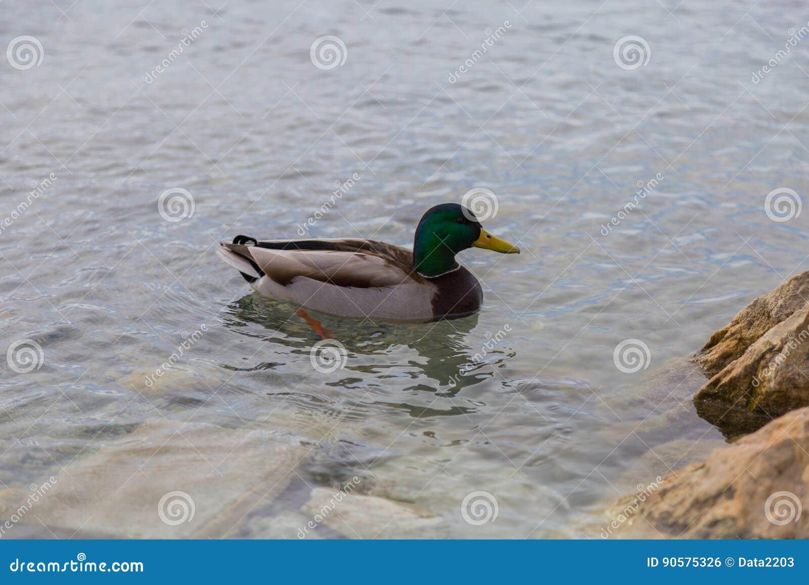 Wilde eend Duck Drake