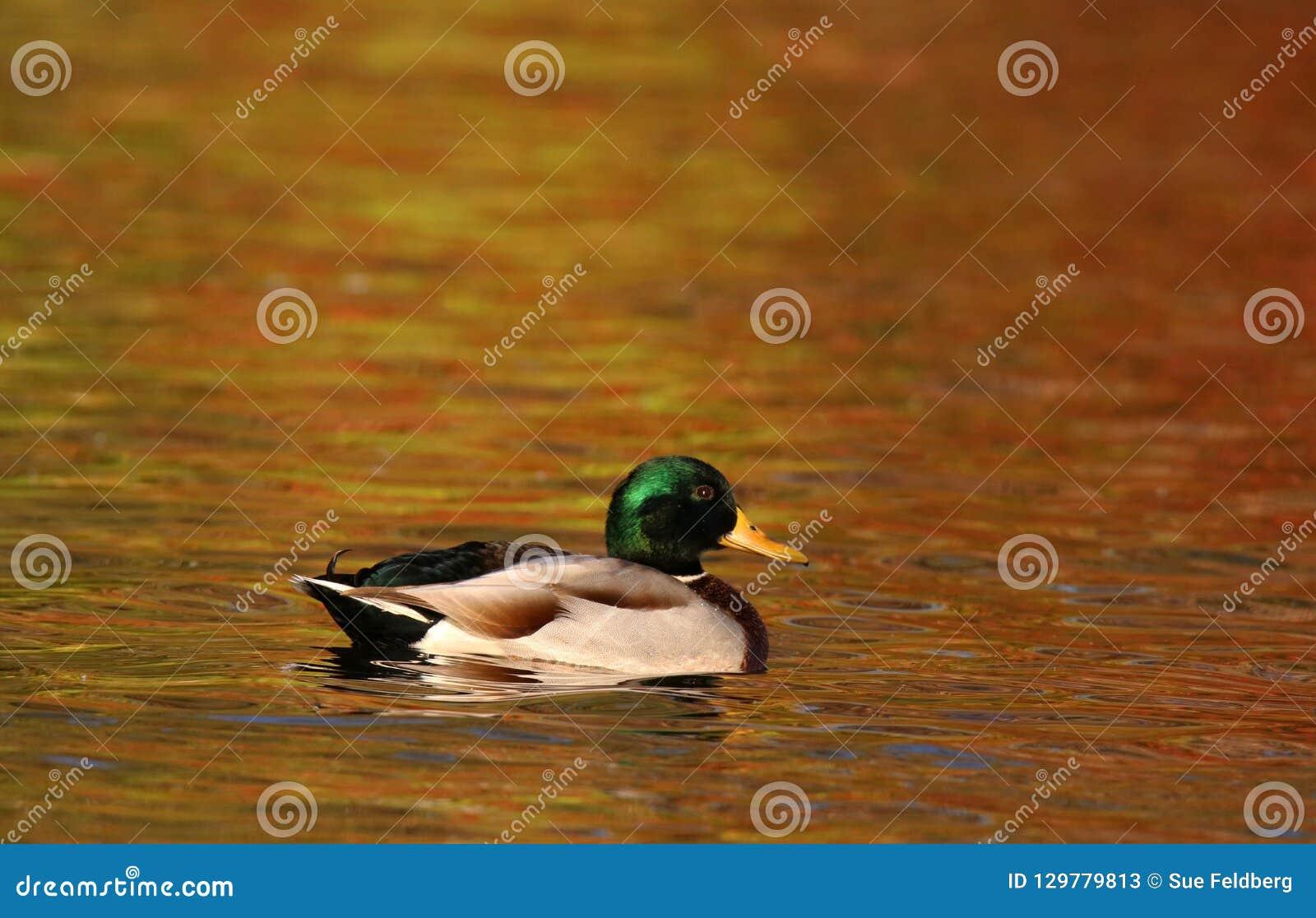 Wilde eendeend die op oranje water in Daling bij Schemer zwemmen