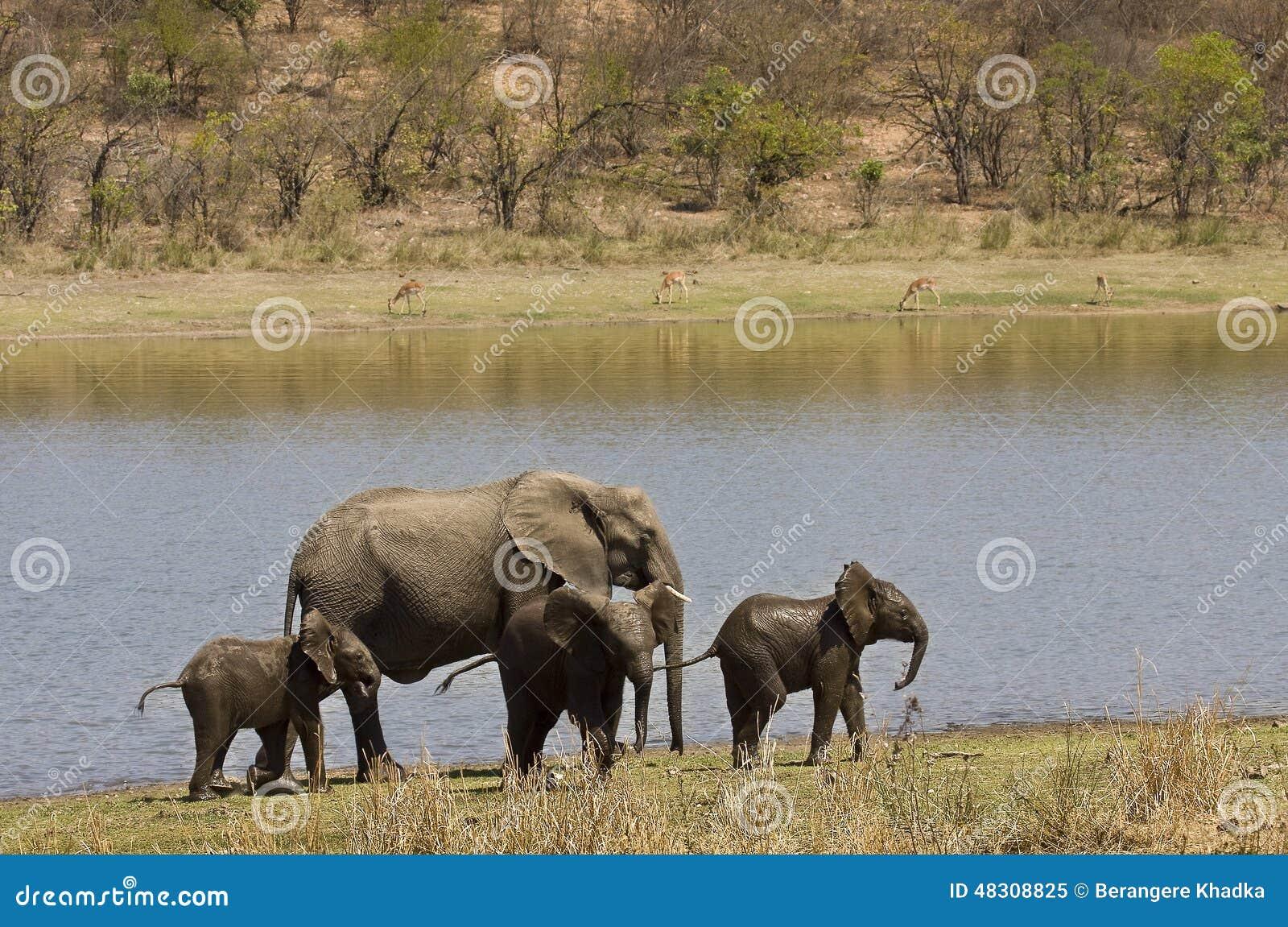 Wilde Elefantfamilie auf der Flussbank, Nationalpark Kruger, SÜDAFRIKA
