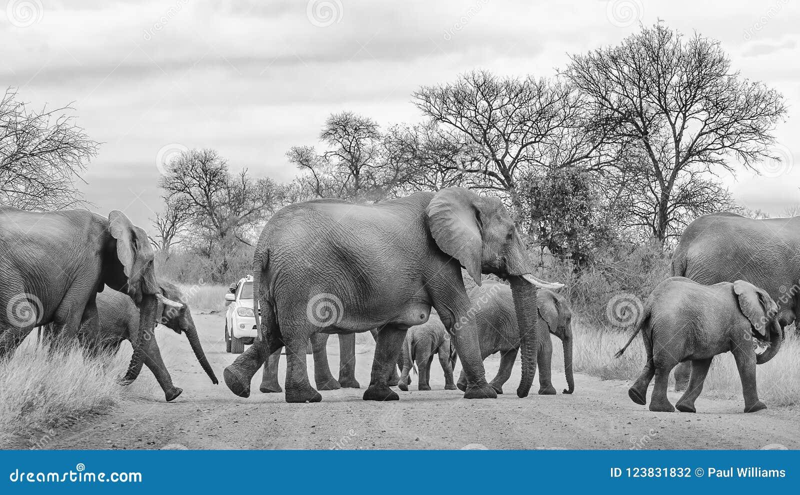 Wilde Elefantherden-Überfahrtstraße
