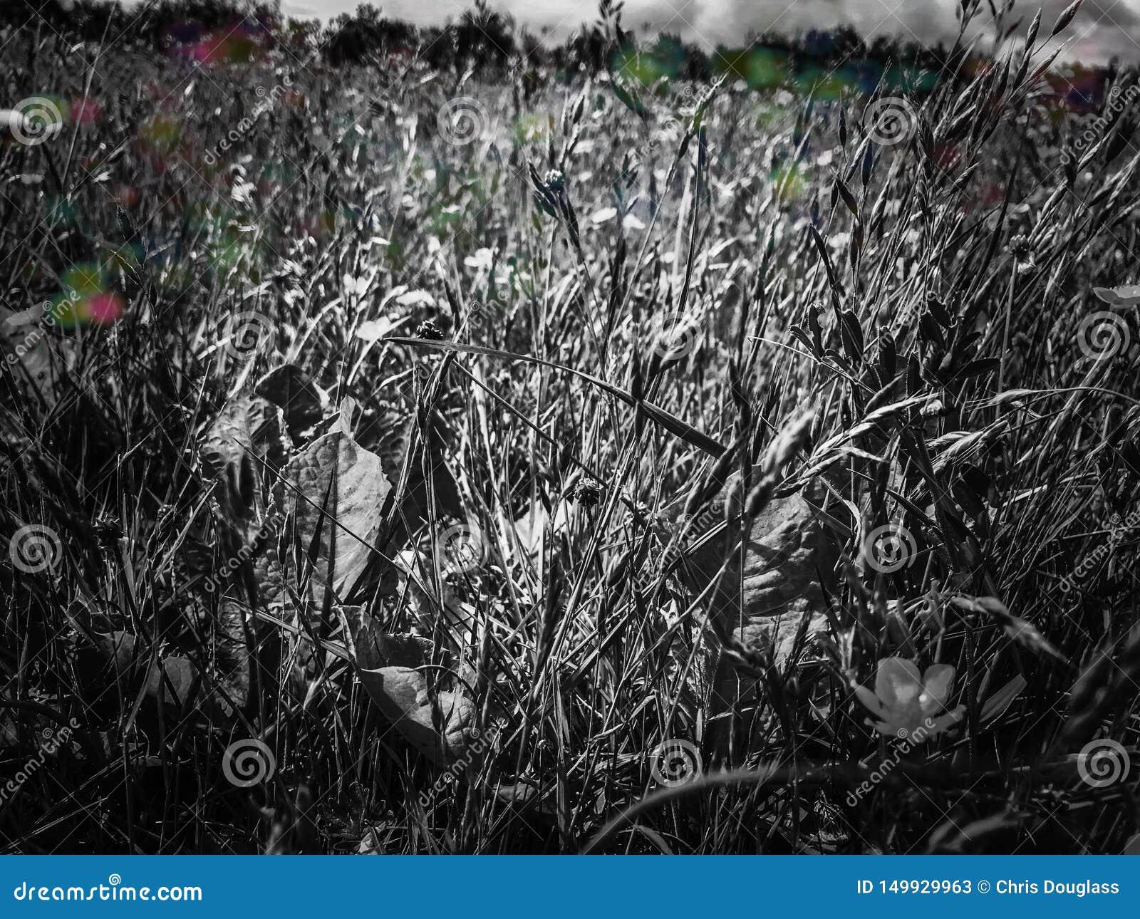 Wilde englische Wiese in Schwarzweiss