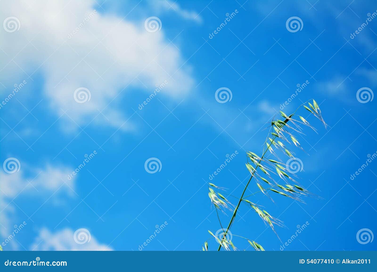 Wilde haver onder een blauwe hemel