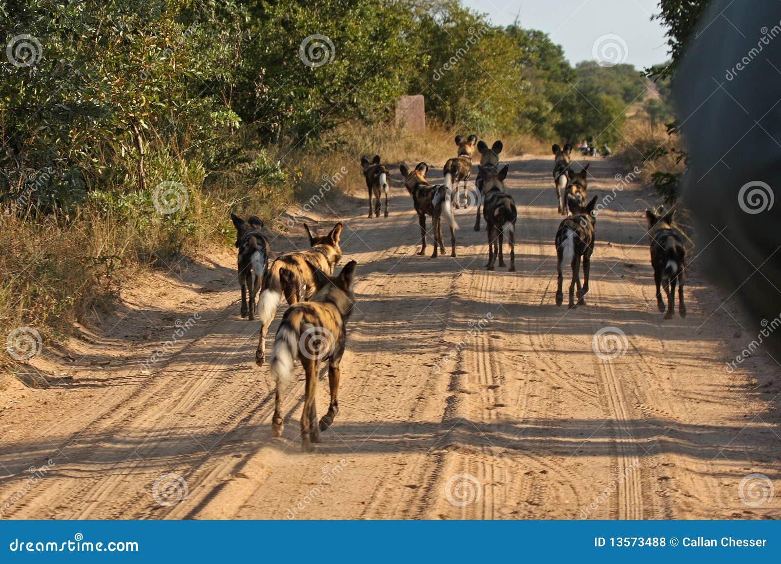 Wilde honden in Zuid-Afrika