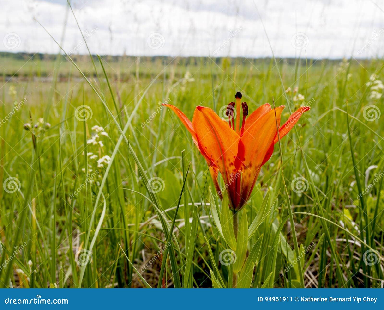 Wilde Houten Lily Flower In de Weiden op Alberta Plains