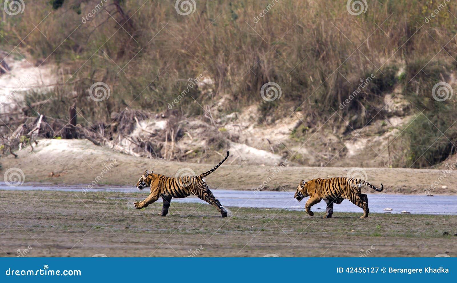 Wilde junge Tiger, Nationalpark Bardia, Nepal