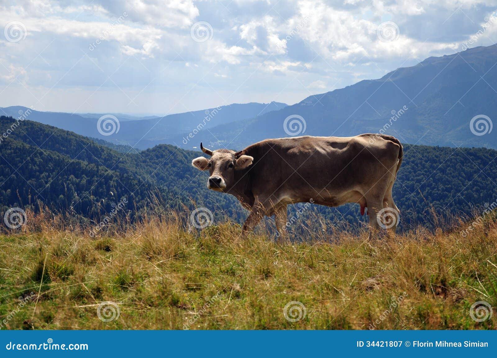 Wilde koe in bergen