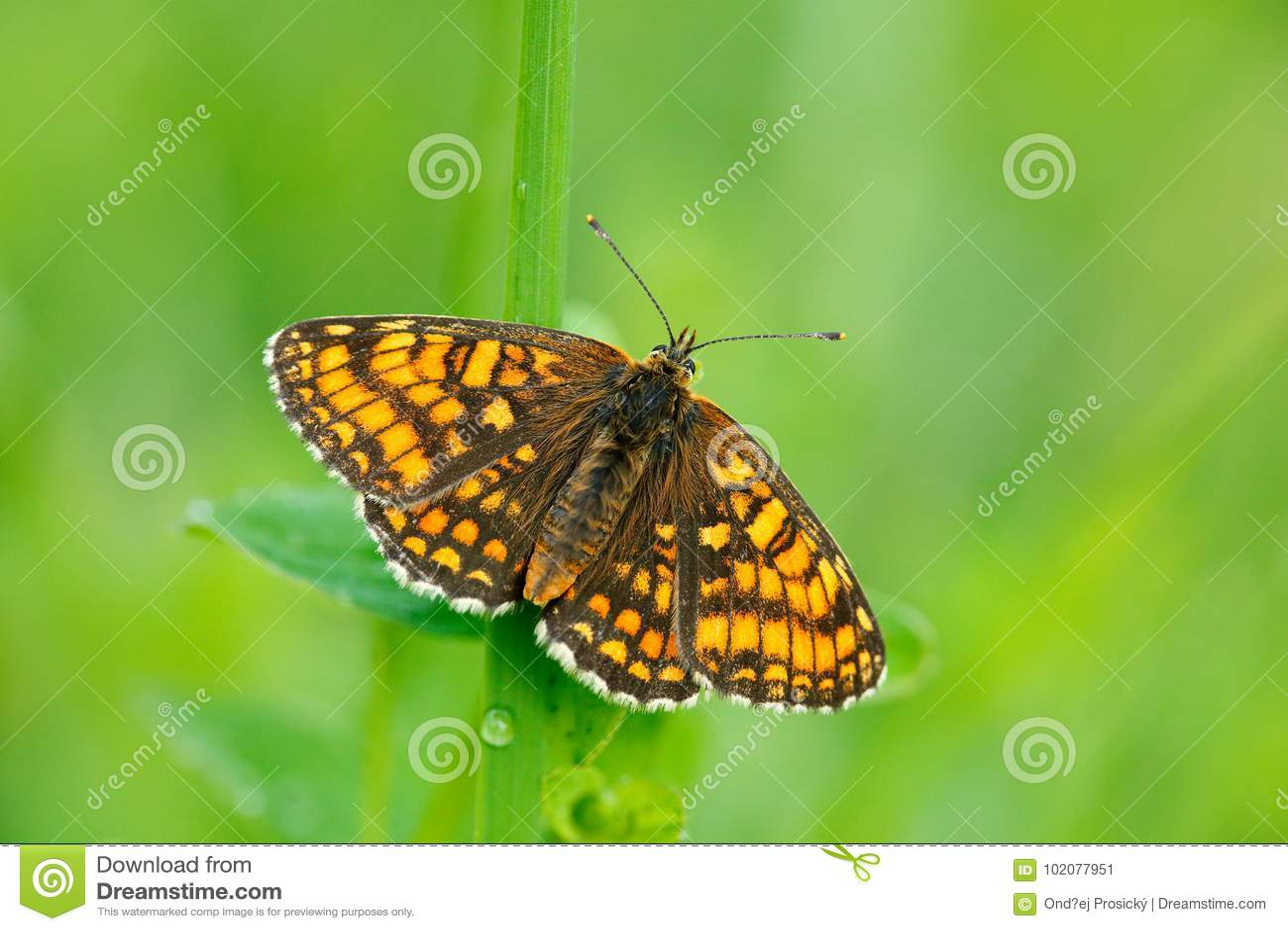 Wilde mooie vlinder, Heath Fritillary die, Melitaea-athalia, op de groene bladeren, insect in de aardhabitat aanwezig zijn, de le