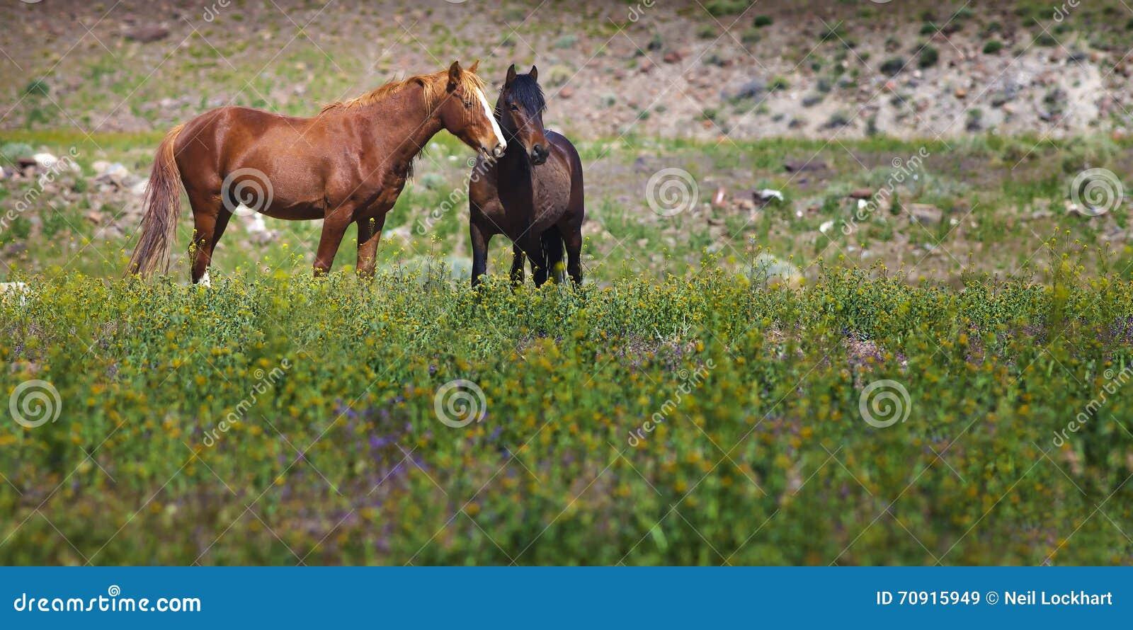 Wilde Mustangs auf dem Gebiet, Nevada