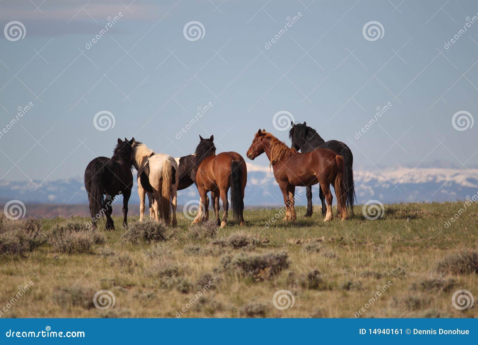 Wilde Mustangs der McCollough Spitze