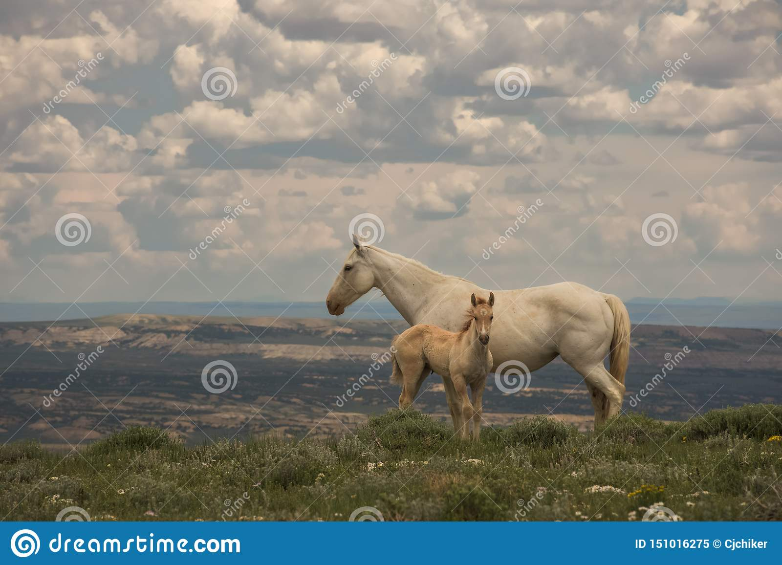 Wilde Mustangs Mutter und Baby-Ausblick-Berg, Sandwash-Becken, Colorado