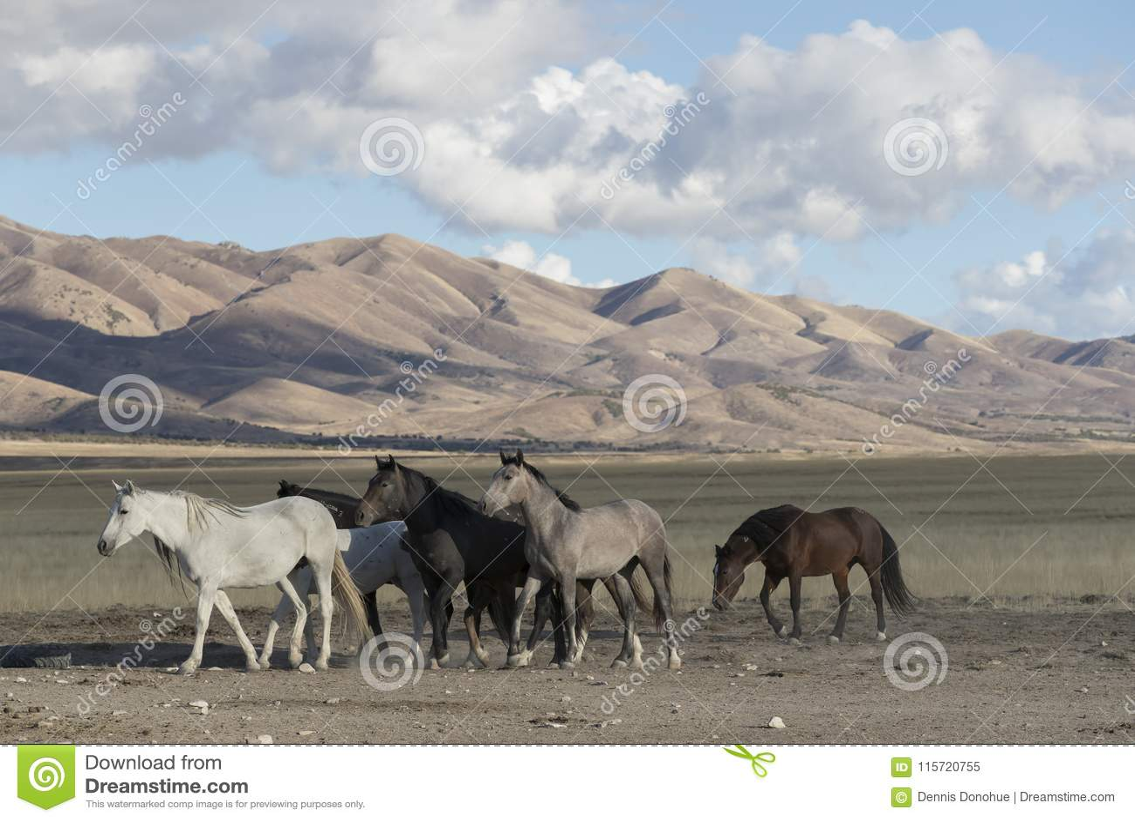 Wilde Mustangs Onaqui-Herde im Großen Wüsten-Becken, Utah USA