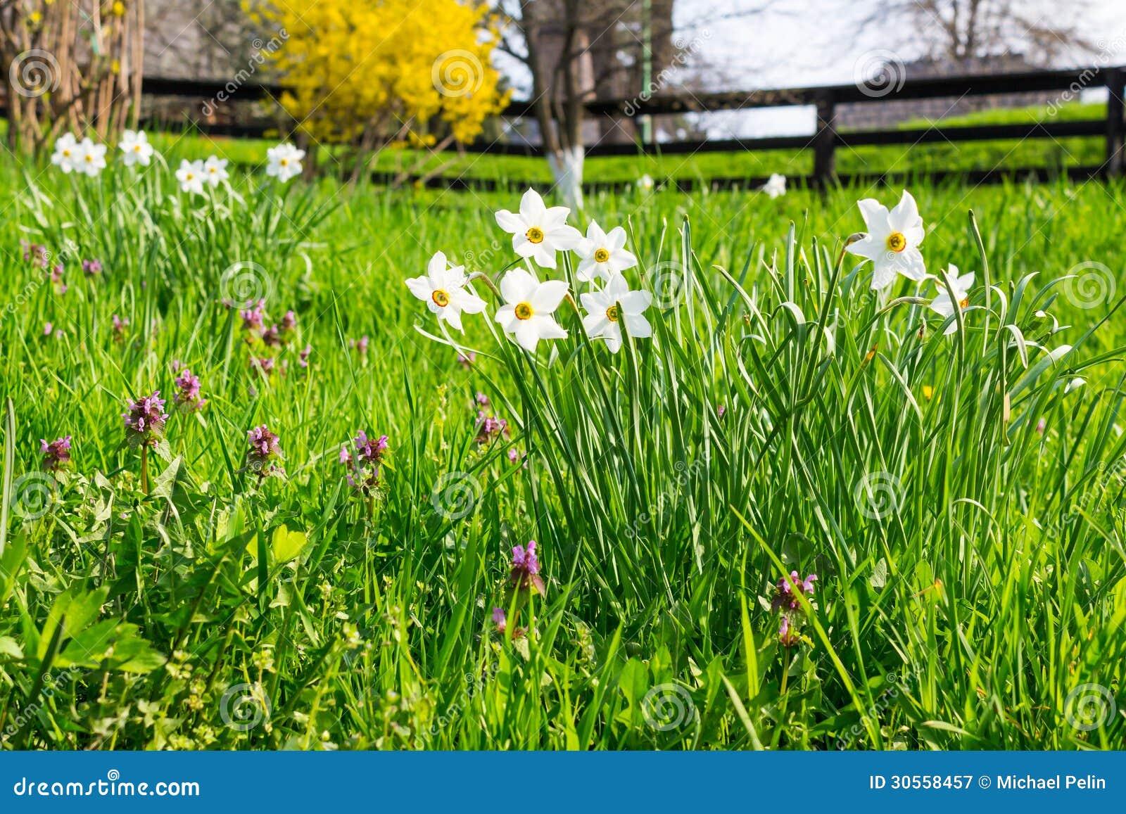 Wilde narcissen in gras royalty vrije stock fotografie afbeelding 30558457 - Bush architectuur ...