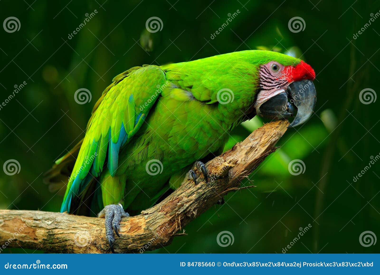 Wilde papegaaivogel, groene papegaai groot-Groene Ara, Aronskelkenambigua Wilde zeldzame vogel in de aardhabitat Groene grote pap
