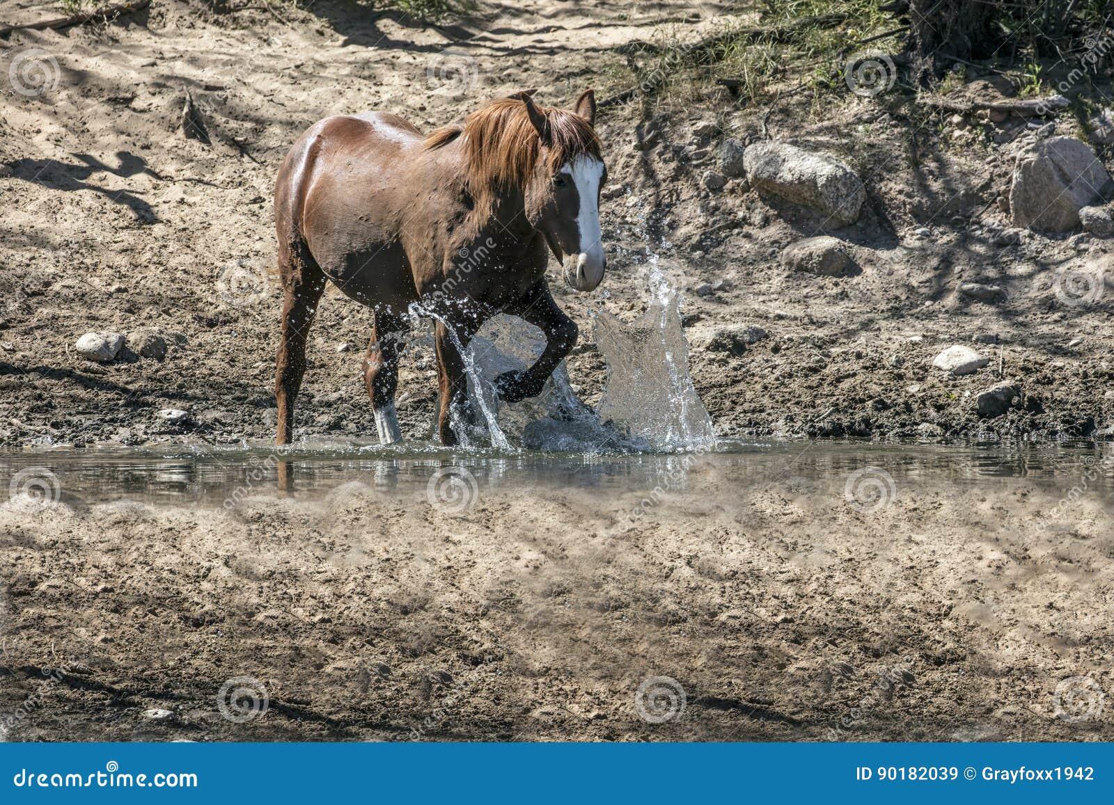 Wilde Pferde auf dem Salt River, Tonto-staatlicher Wald