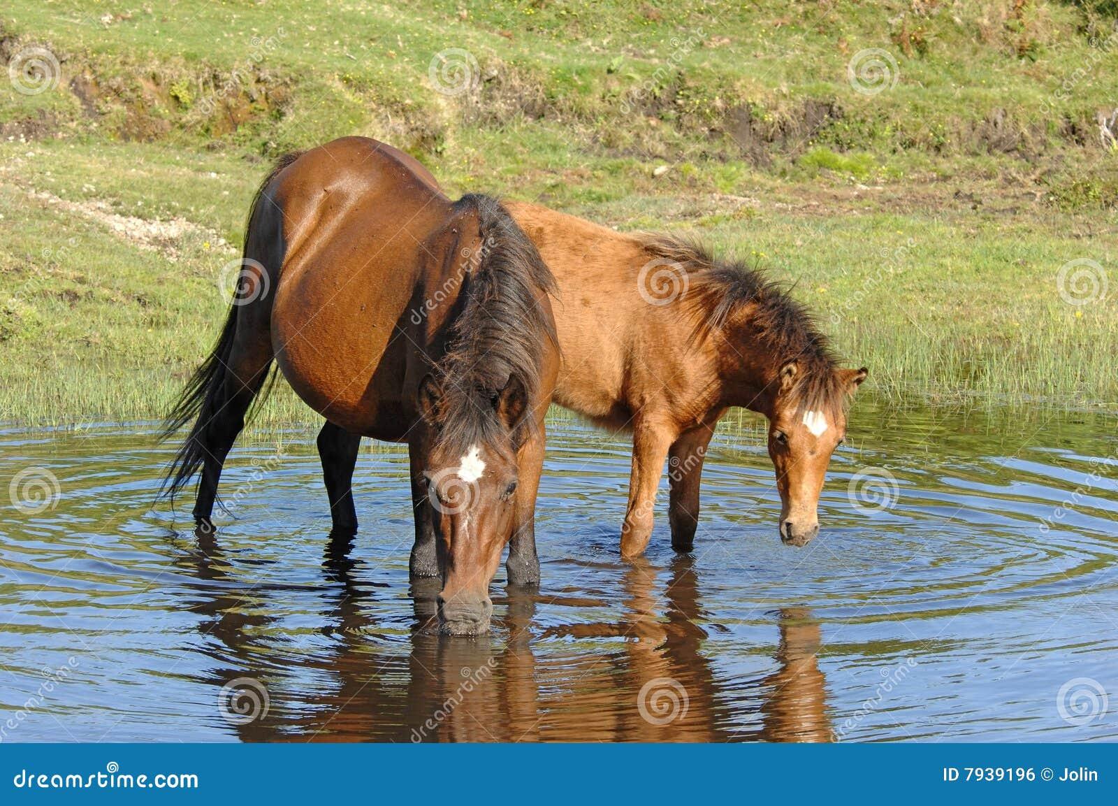 Wilde Pferde, die im Teich trinken