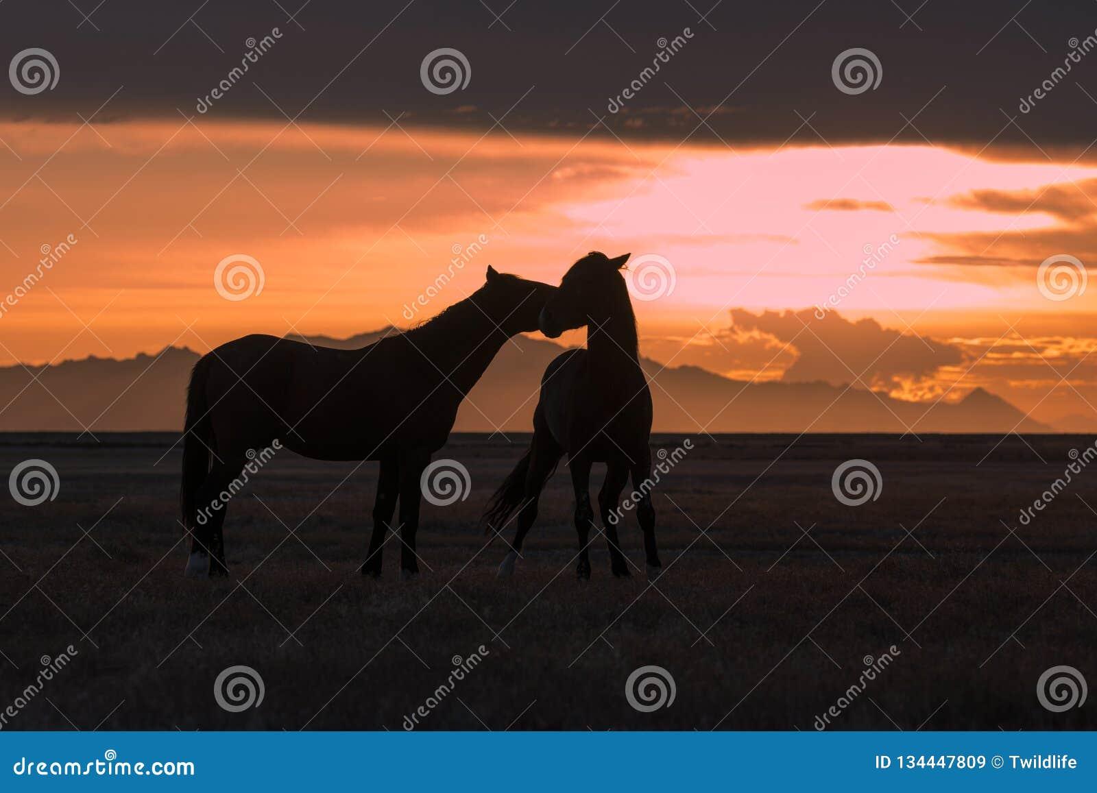 Wilde Pferde silhouettierten bei Sonnenuntergang in der Wüste