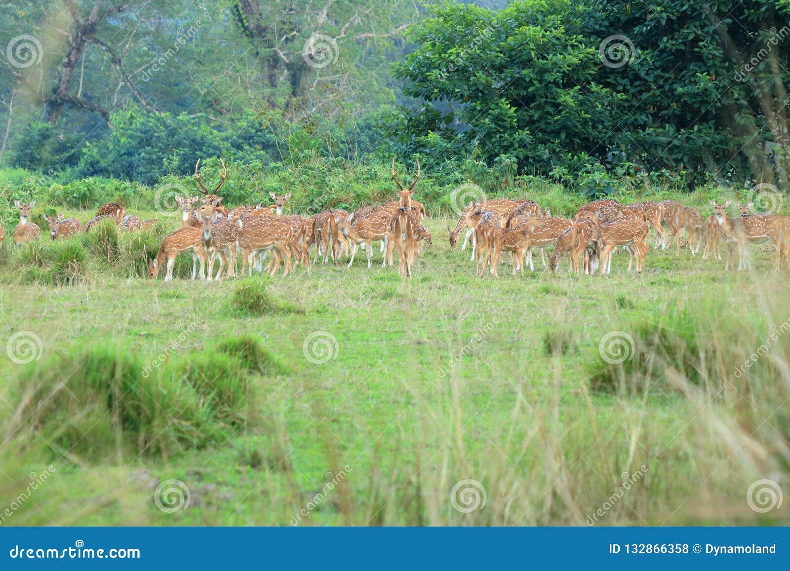 Wilde reeënkudde op een gebied in Nepal