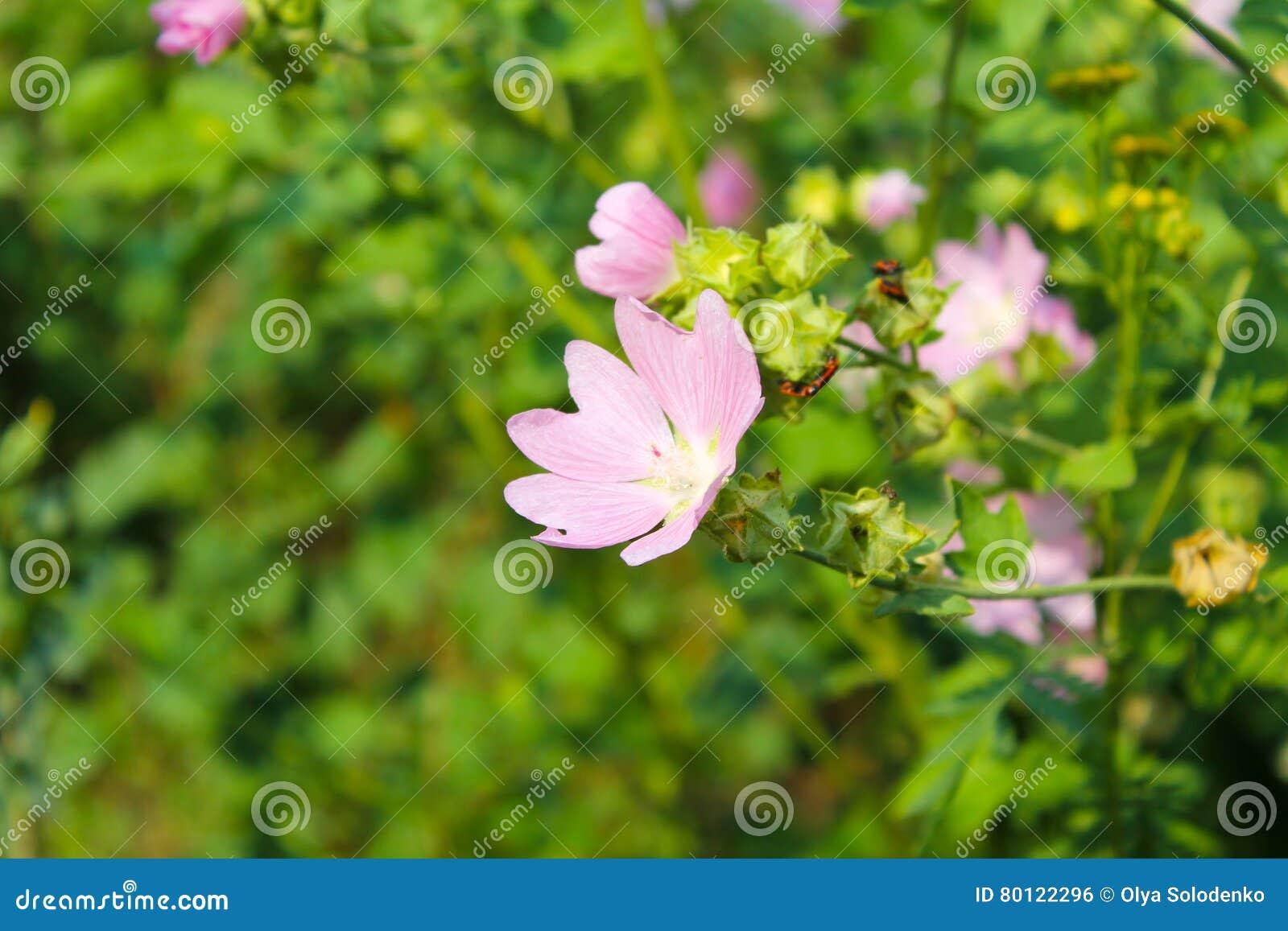 Wilde roze malve