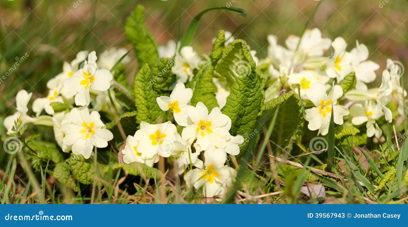 Wilde Sleutelbloemen in de Lente