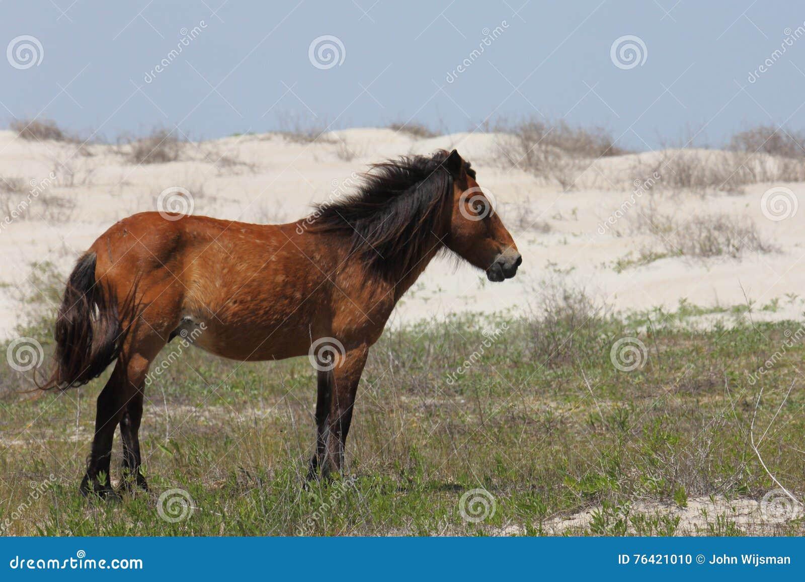Wilde spanische Mustangs von Shackleford hat North Carolina ein Bankkonto